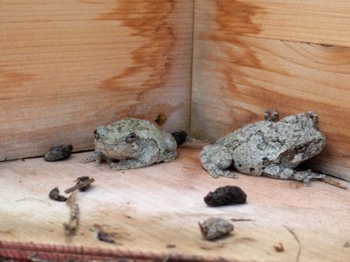Two gray tree frog buddies hanging out inside the bird house